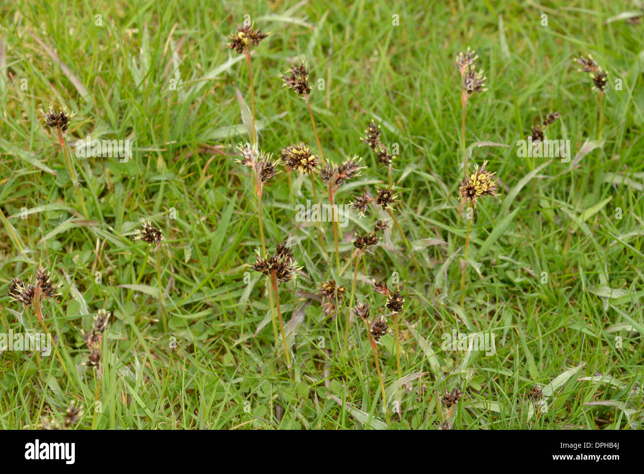 Field Wood-rush; Luzula campestris - Stock Image