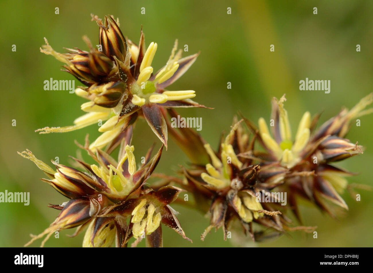 Field Wood-rush, Luzula campestris - Stock Image