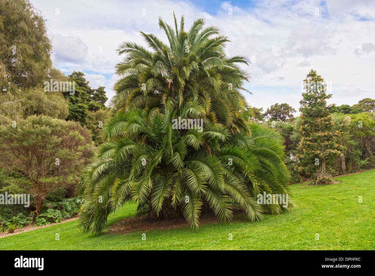 An unidentified palm tree in Auckland Botanic Gardens, which looks like a clumped growth of Phoenix Canieriensis. - Stock Image