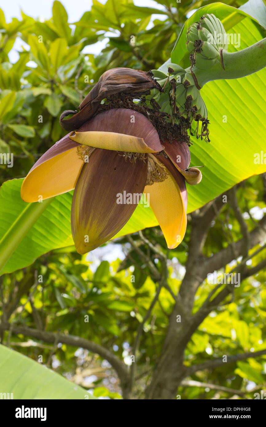 Hardy banana, Musa basjoo, in flower in an early autumn Devon garden - Stock Image