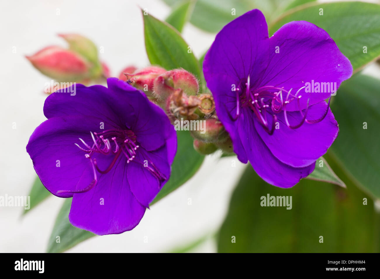 Autumn and Winter flowering subtropical shrub, Tibouchina organensis, in a private garden in Plymouth, UK - Stock Image