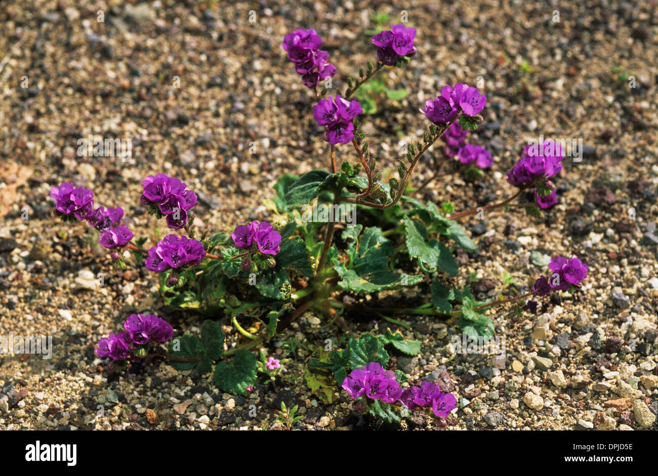 Elk248 1784 california death valley national park spring display elk248 1784 california death valley national park spring display of flowers caltha leaf phacelia mightylinksfo