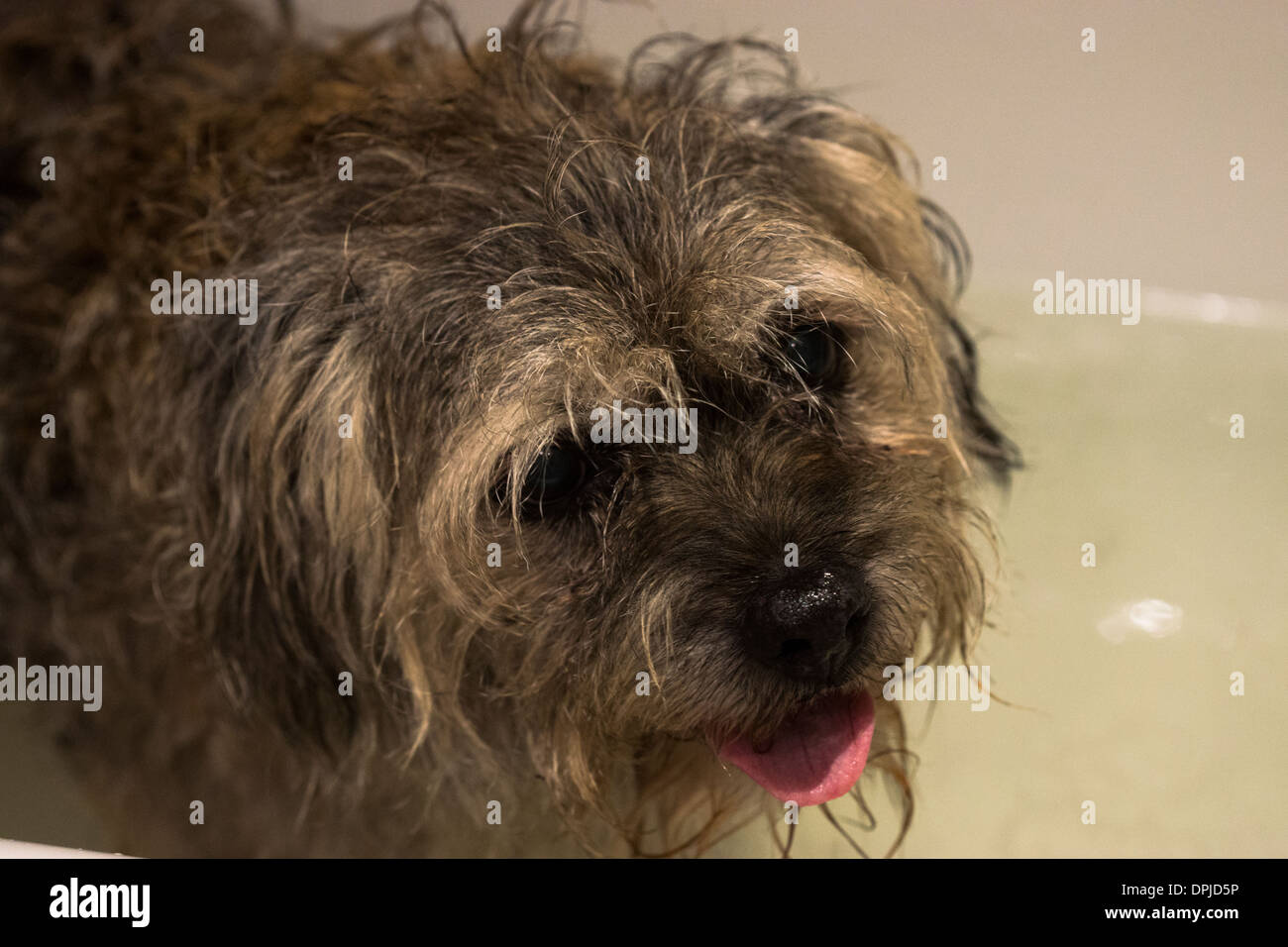 Long Hair Dog Domestic Border Terrier Dog Bath Stock Photo 65559026