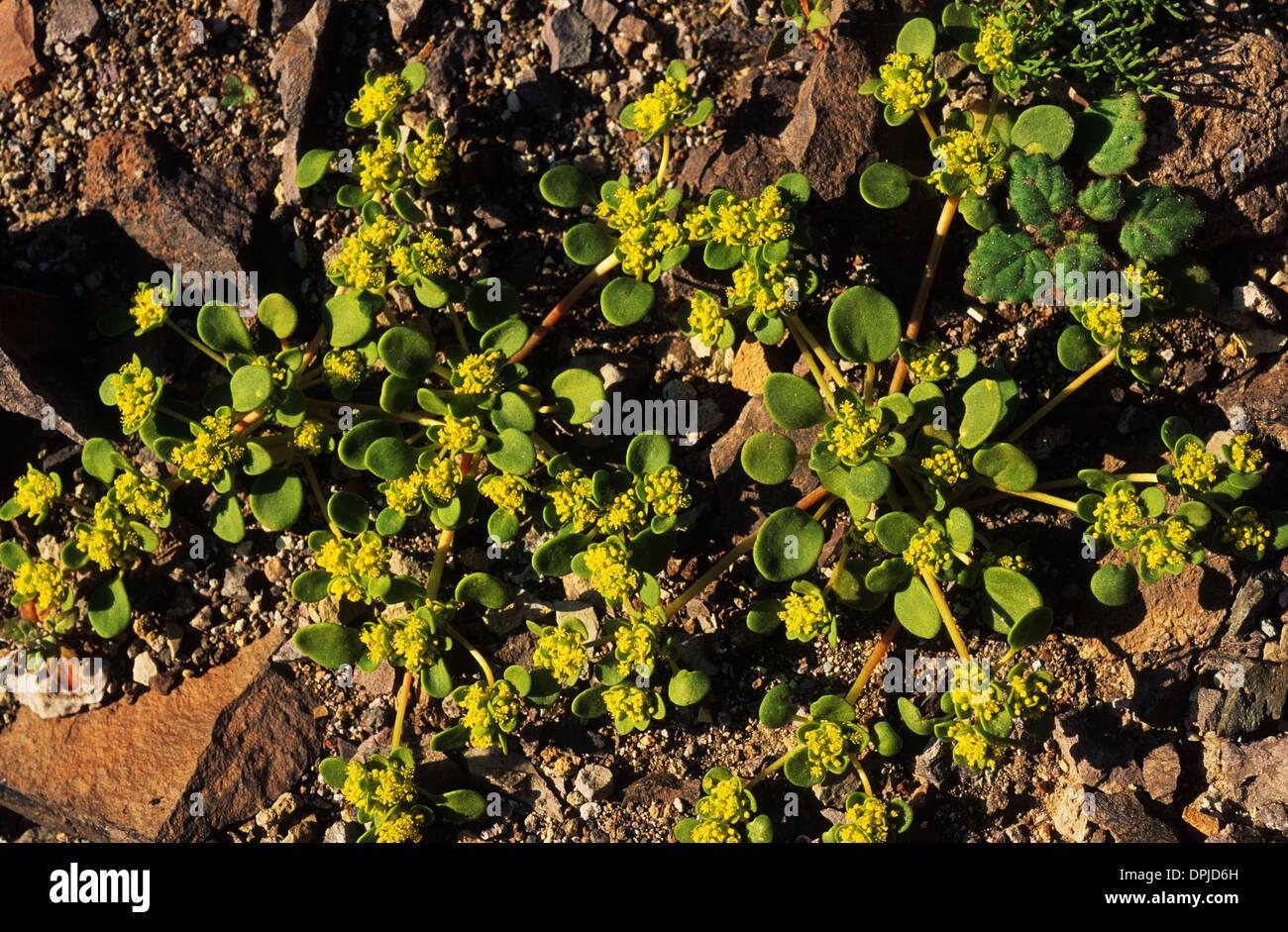 Elk248-1794 California, Death Valley National Park, spring display of flowers, Gold Carpet - Stock Image