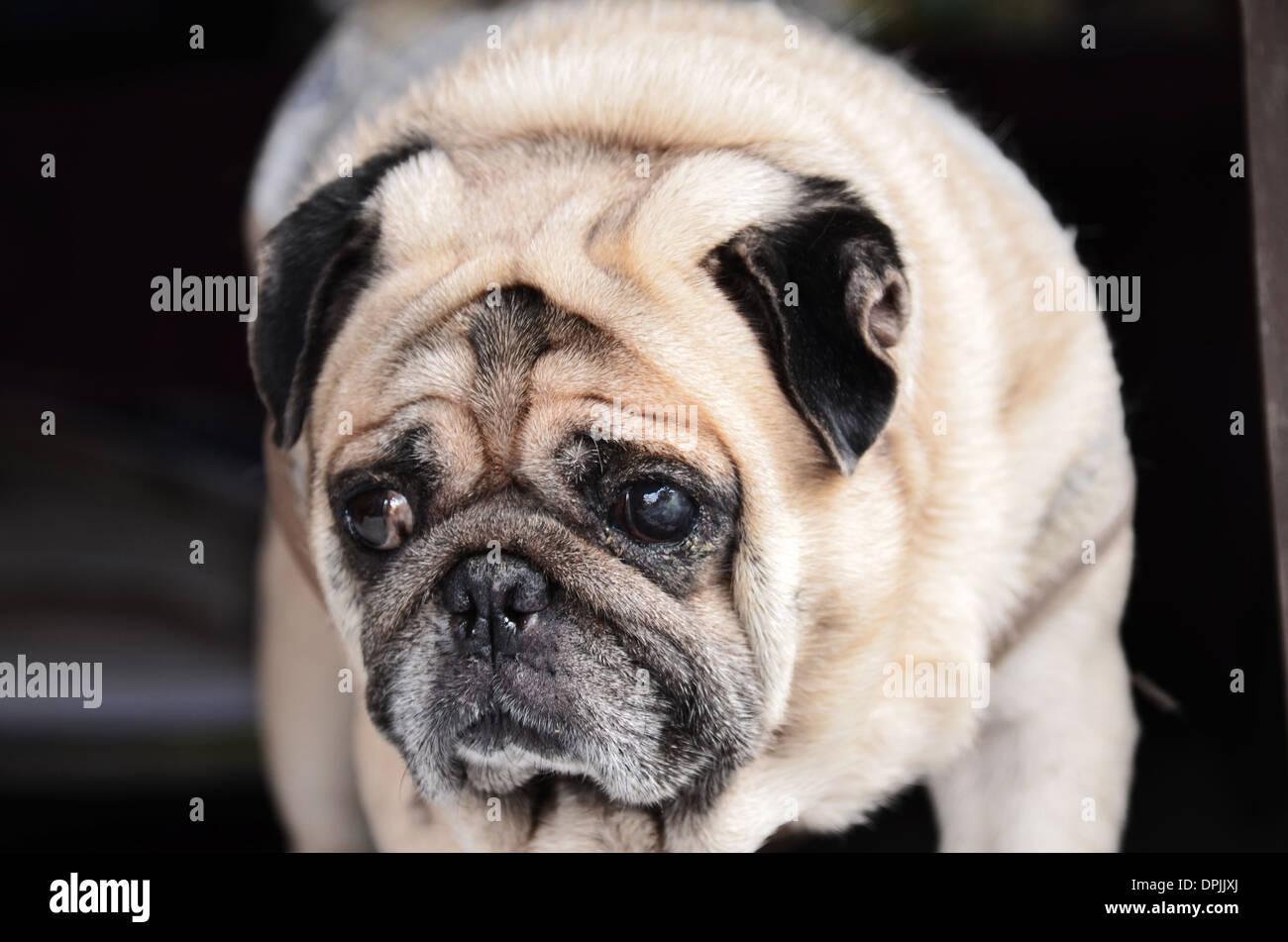 Cute A Pug Dog Stock Photo 65563530 Alamy