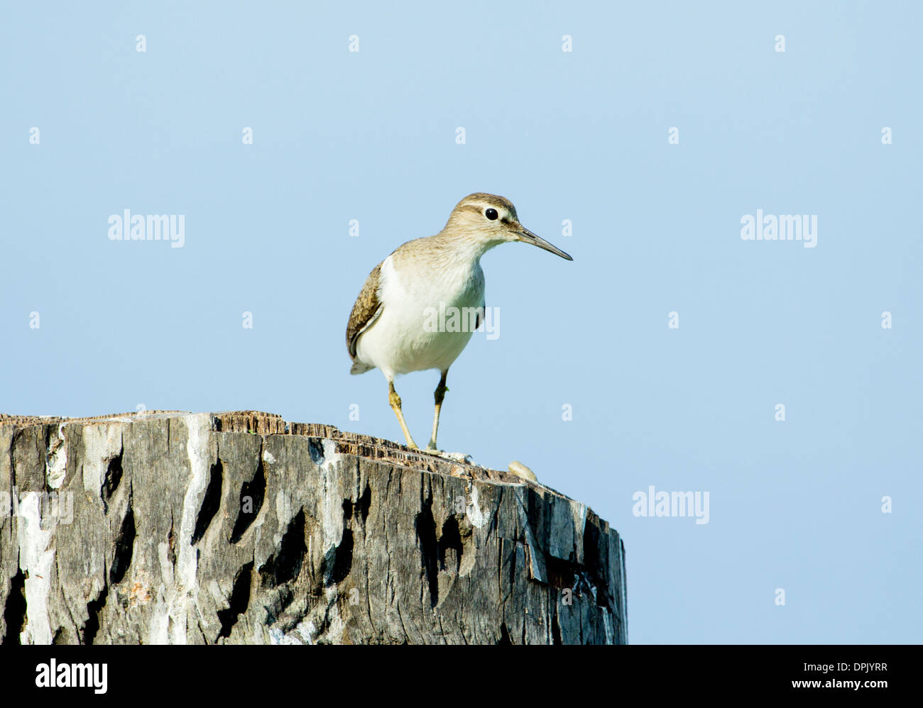 A Cape Wag Tail Bird standing on the edge of a dead tree wooden log, india - Stock Image