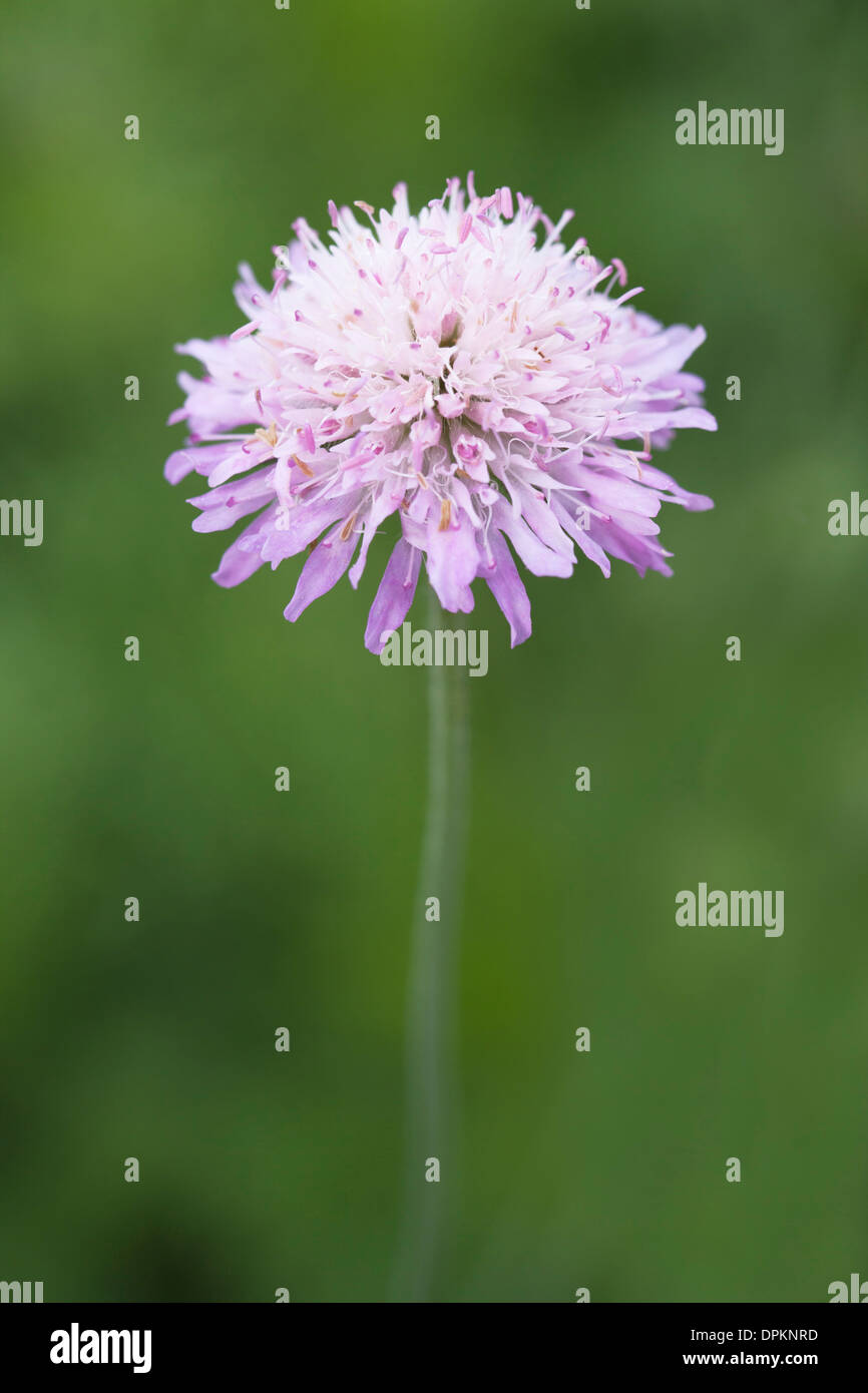 Field Scabious Flower with shallow depth of field and soft focus the petals of the flower - Stock Image