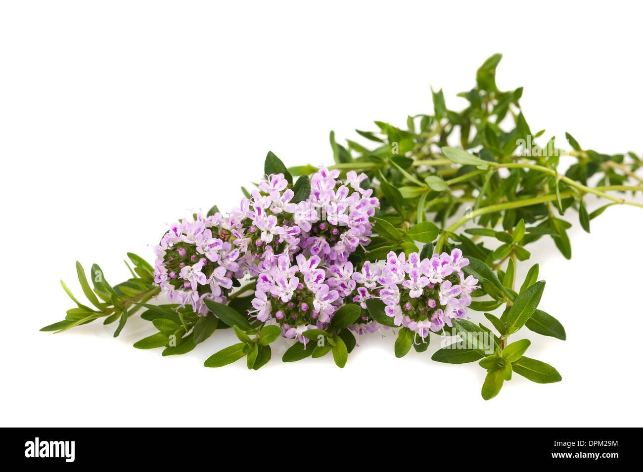 Savory fresh herb isolated on white background - Stock Image