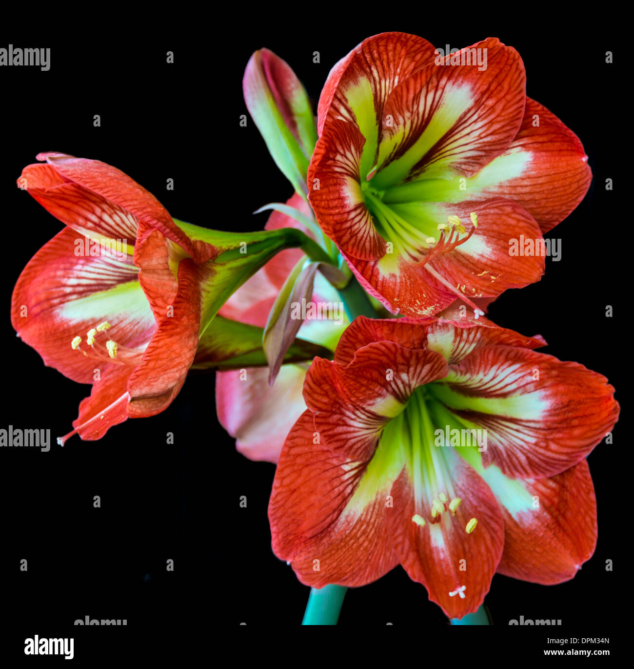 bunch of bright red Hippeastrum  flowers against black background - Stock Image