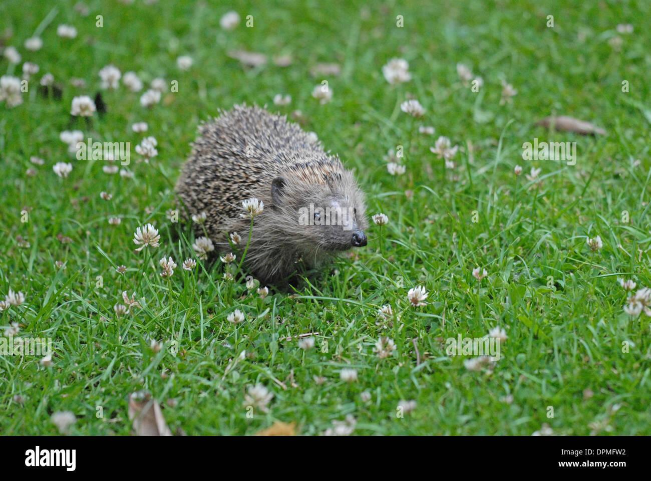Hedgehog (Erinaceus europaeus) on a clover lawn. Stock Photo
