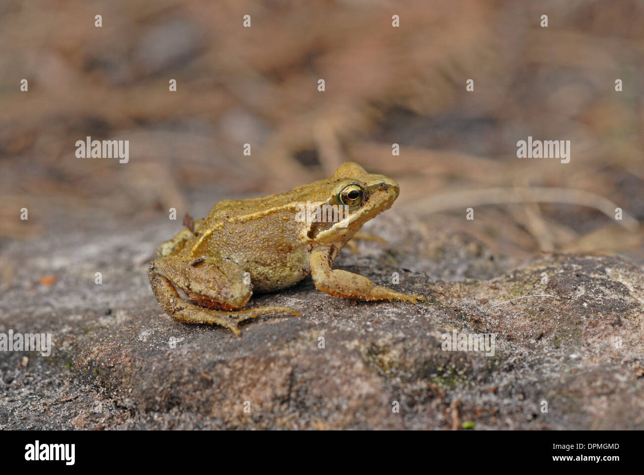 Common or Grass Frog (Rana temporaria). Adult. - Stock Image