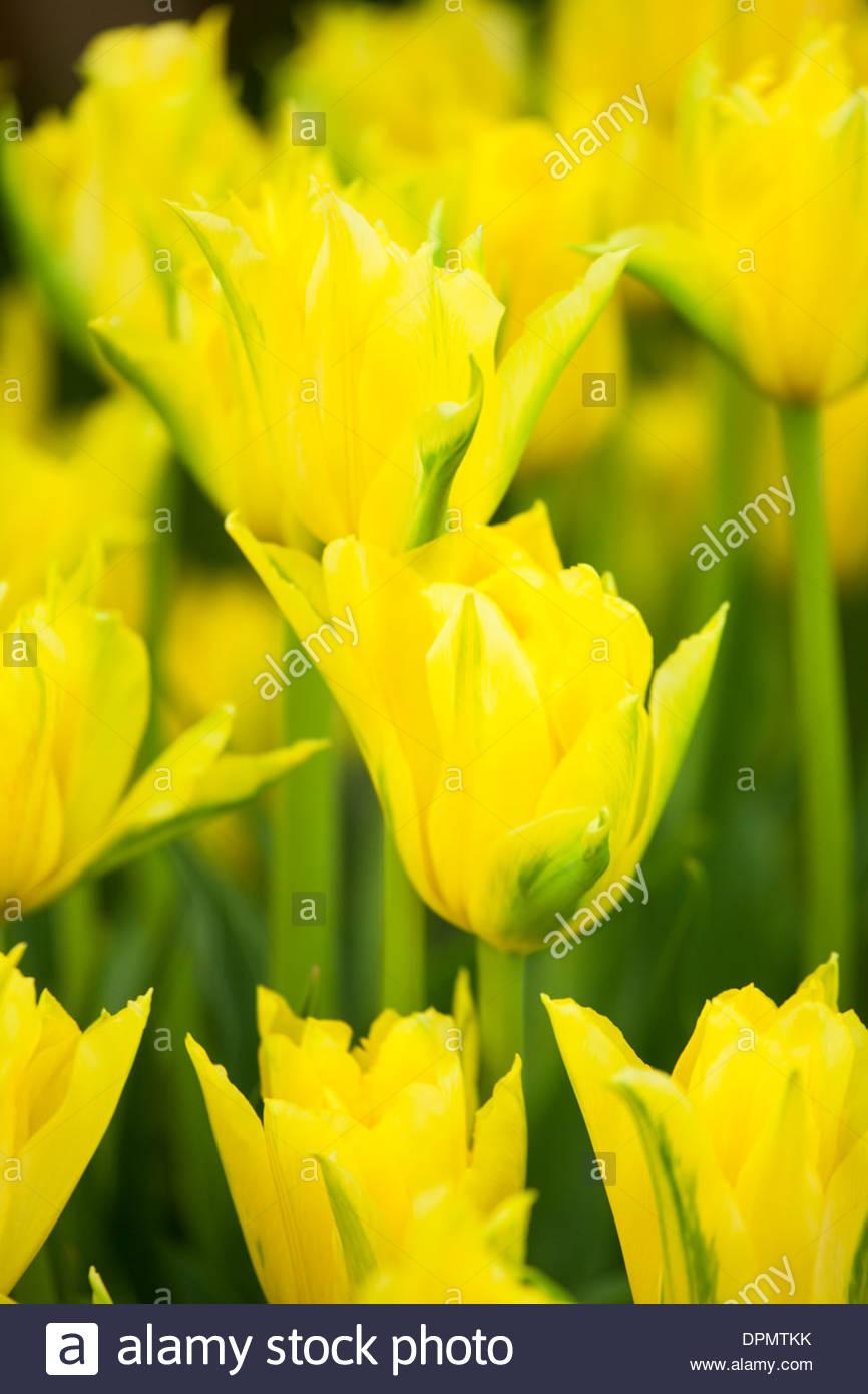 Tulipa 'Yellow Spider' - Stock Image