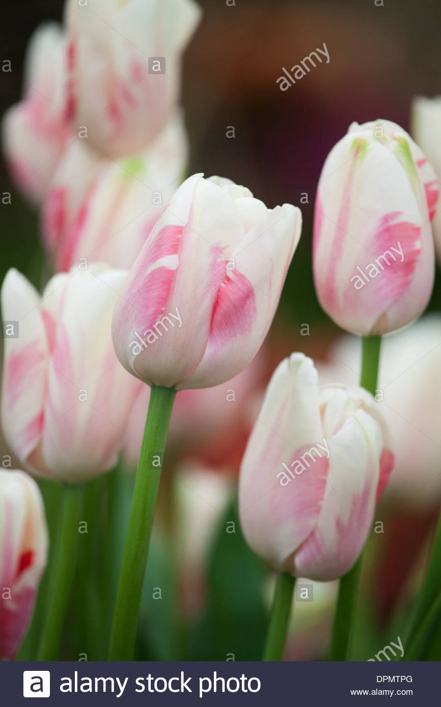 Tulipa 'Sorbet' - Stock Image