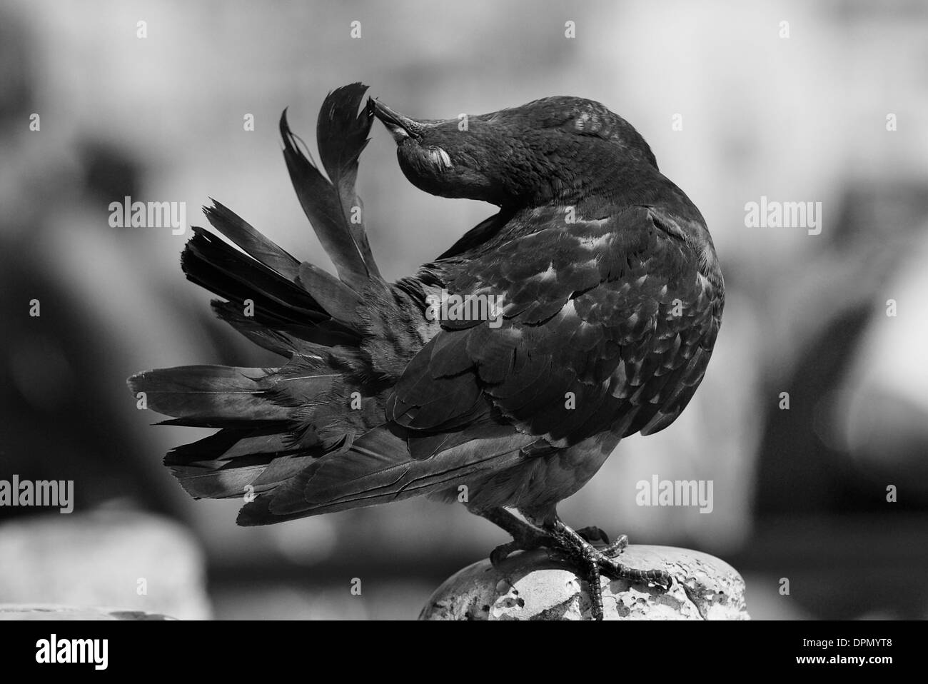 Artistic black and white photo of a pigeon in san marco square venice