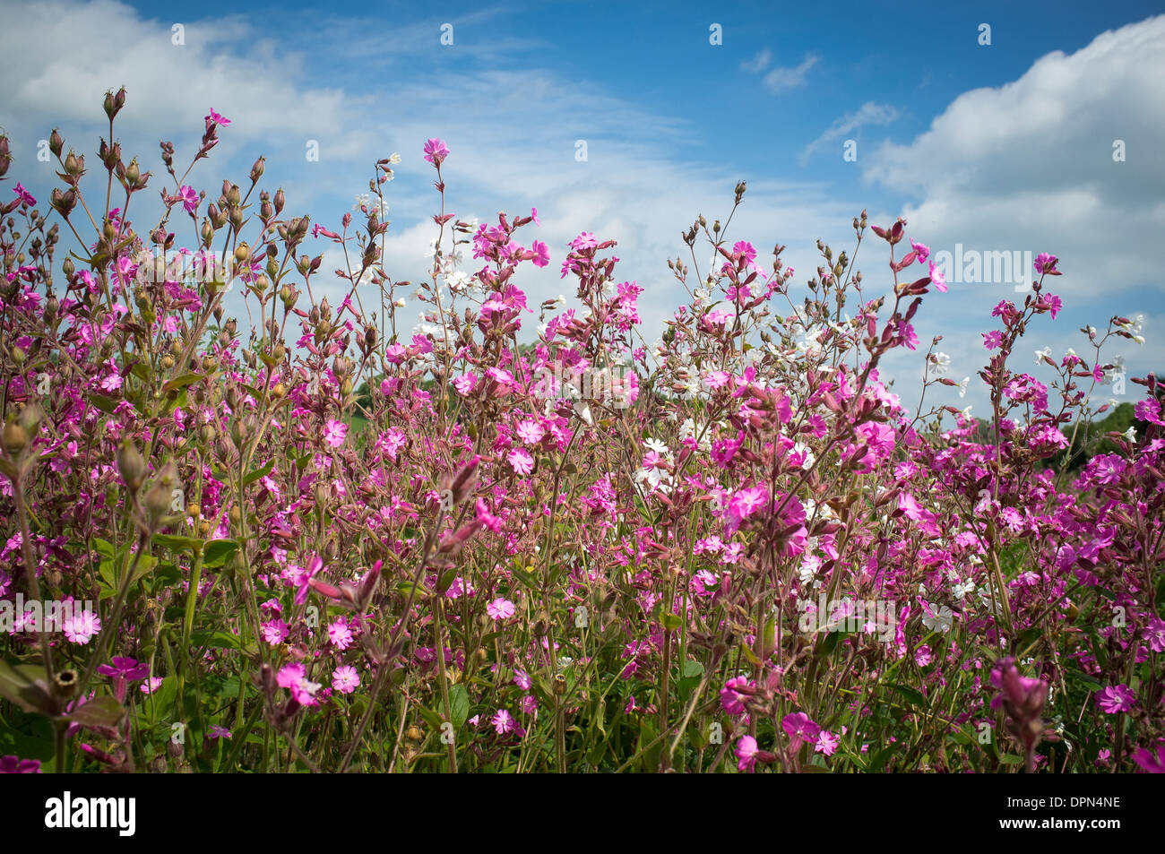 Pretty Pink Flowers At The Edge Of A Field In The English Stock