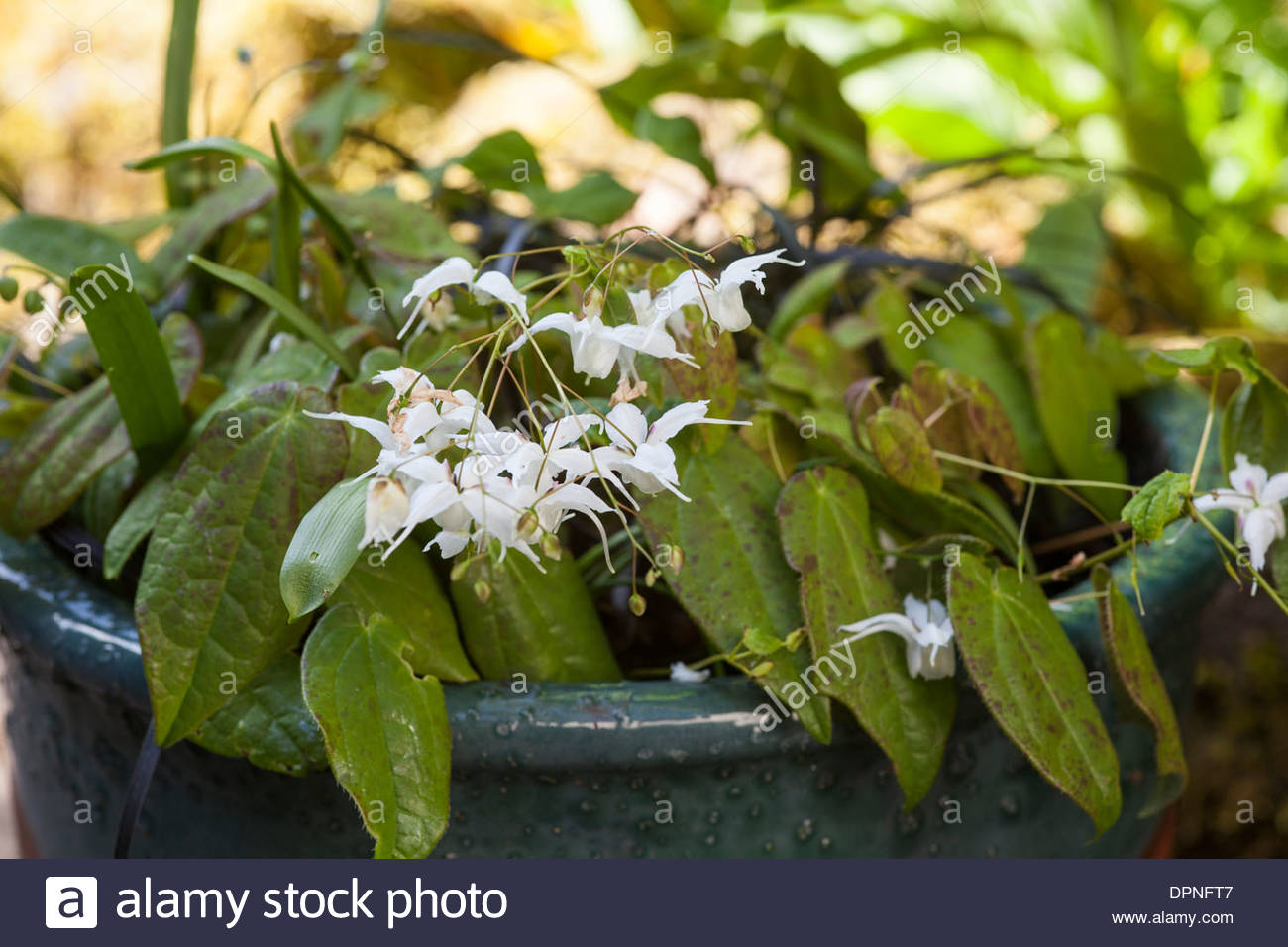Epimedium 'Ogisui' in container - Stock Image