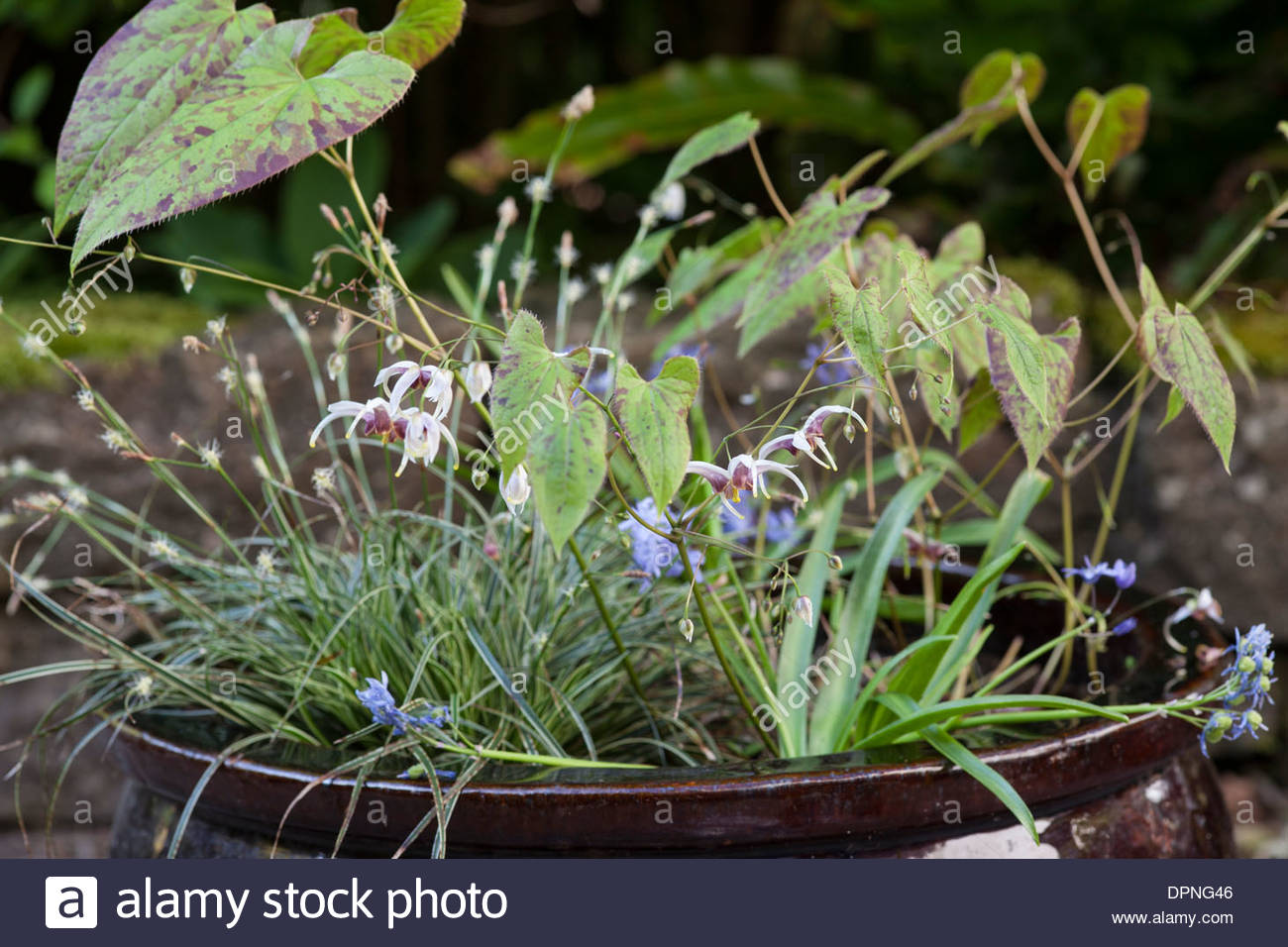 Epimedium 'Persian Carpet' in container - Stock Image