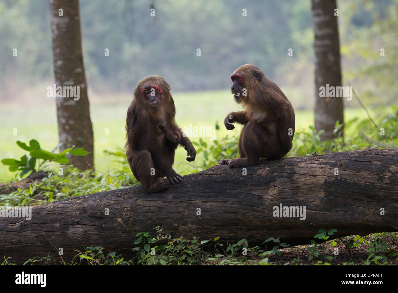 Stump-tailed macaques (Macaca arctoides) - Stock Image