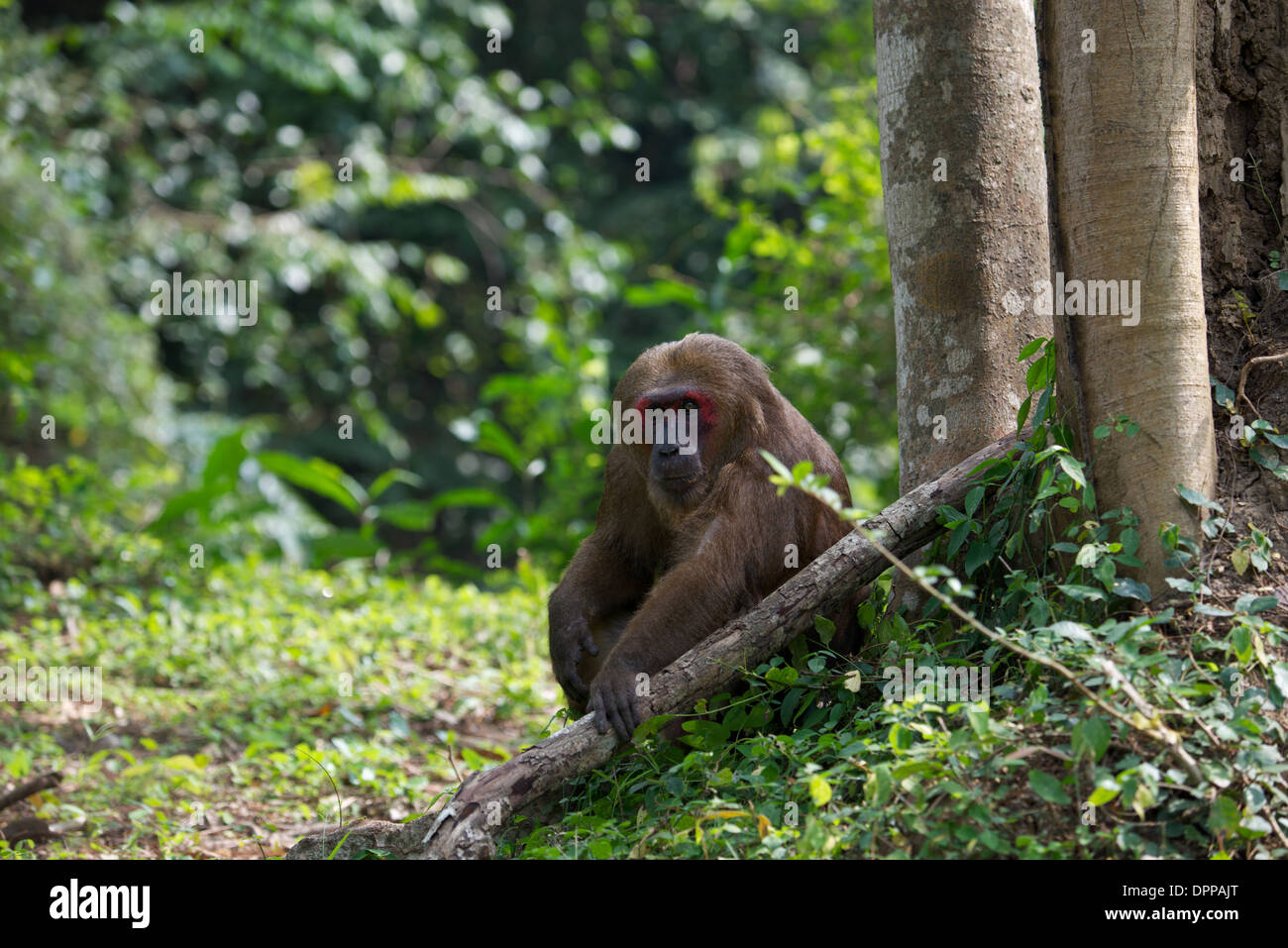Stump-tailed macaques (Macaca arctoides) have thick, long, dark brown fur covering their bodies and short tails. - Stock Image