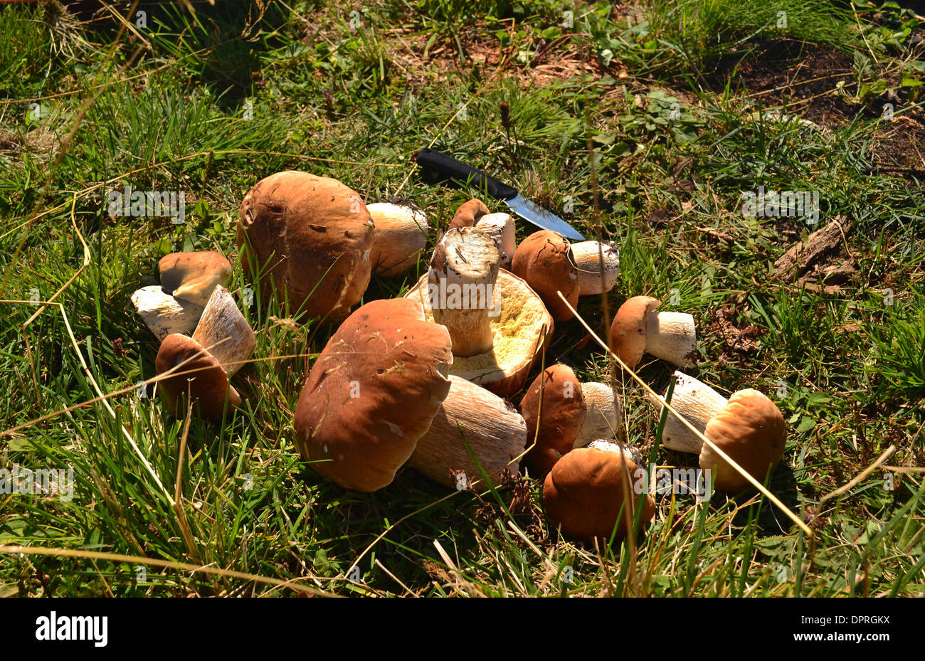 mushrooming meadow below food sphagnum mycology gourmet close-up macro area up forest fungus growth objects picking edible raw c - Stock Image