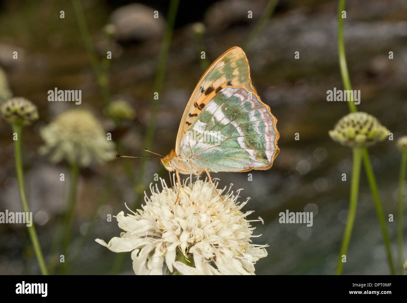 Silver-washed fritillary, Argynnis paphia on yellow scabious, East Turkey. - Stock Image