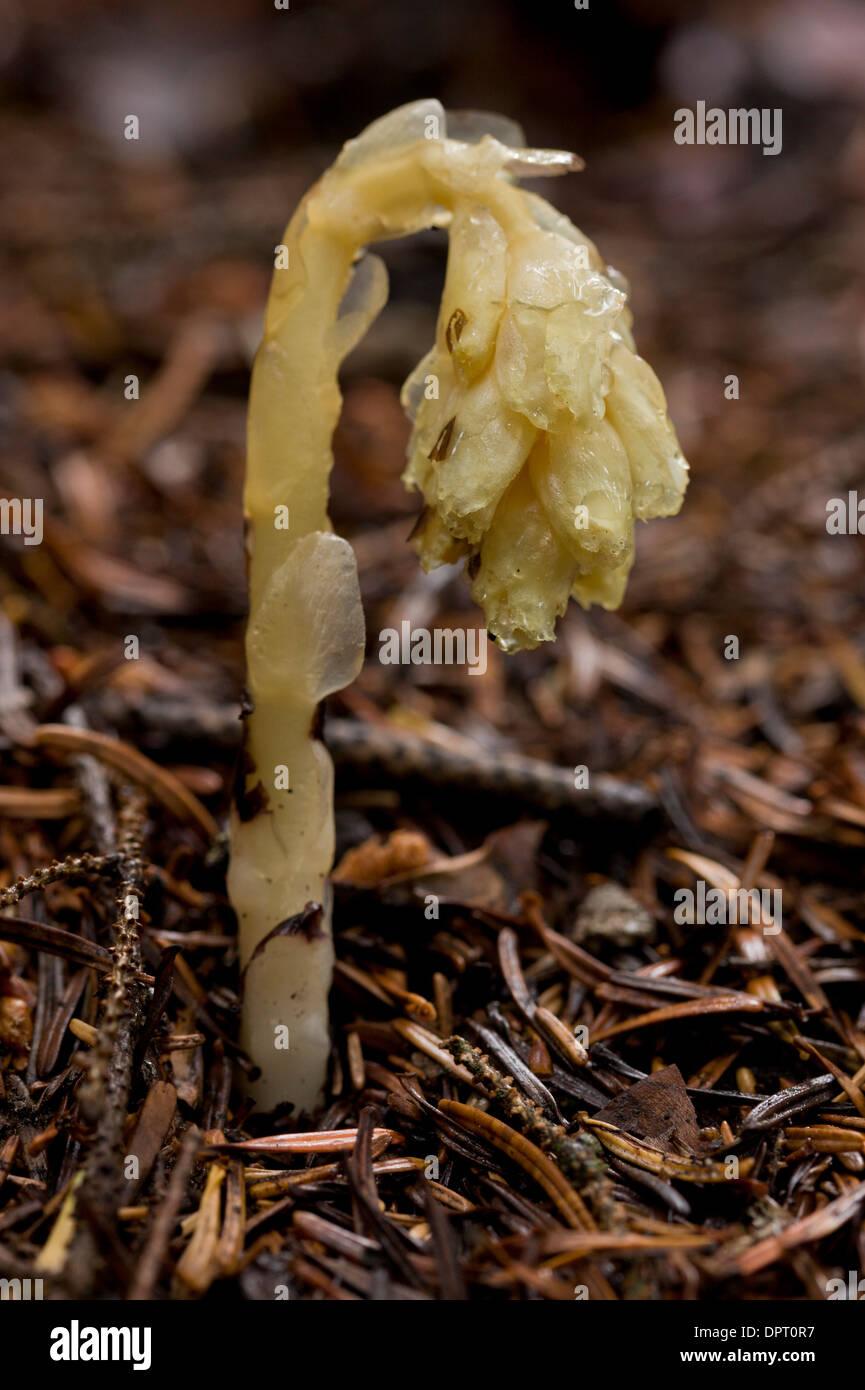 Dutchman's pipe or yellow bird's-nest, Hypopitys monotropa = Monotropa hypopitys - a saprophyte or mycoheterotroph. Stock Photo