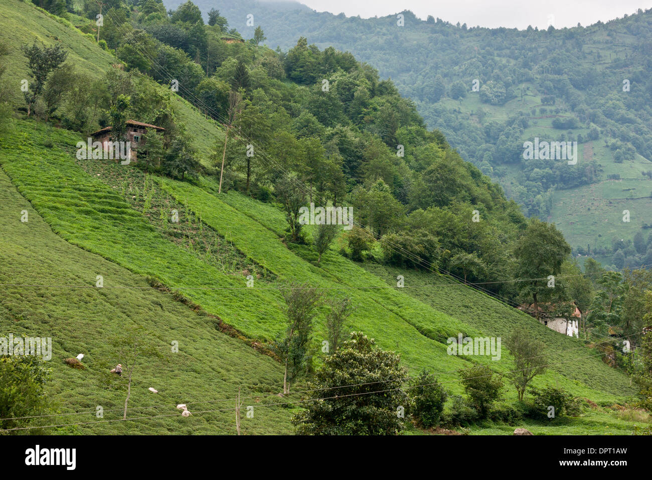 Tea plantations on the steep slopes of the Firtina valley, Pontic Alps, north-east Turkey. - Stock Image