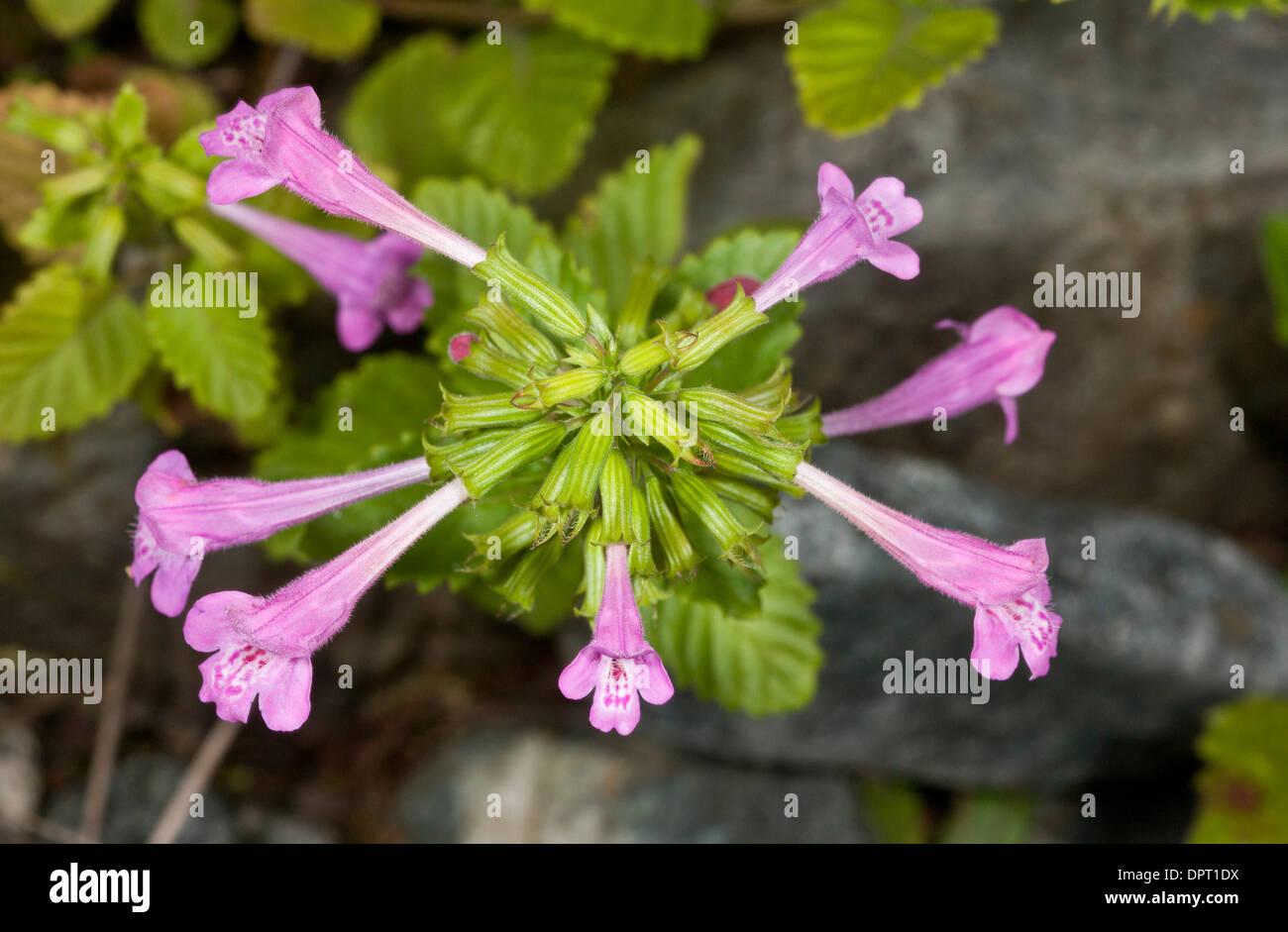 Wild Basil, Clinopodium vulgare in flower. Stock Photo