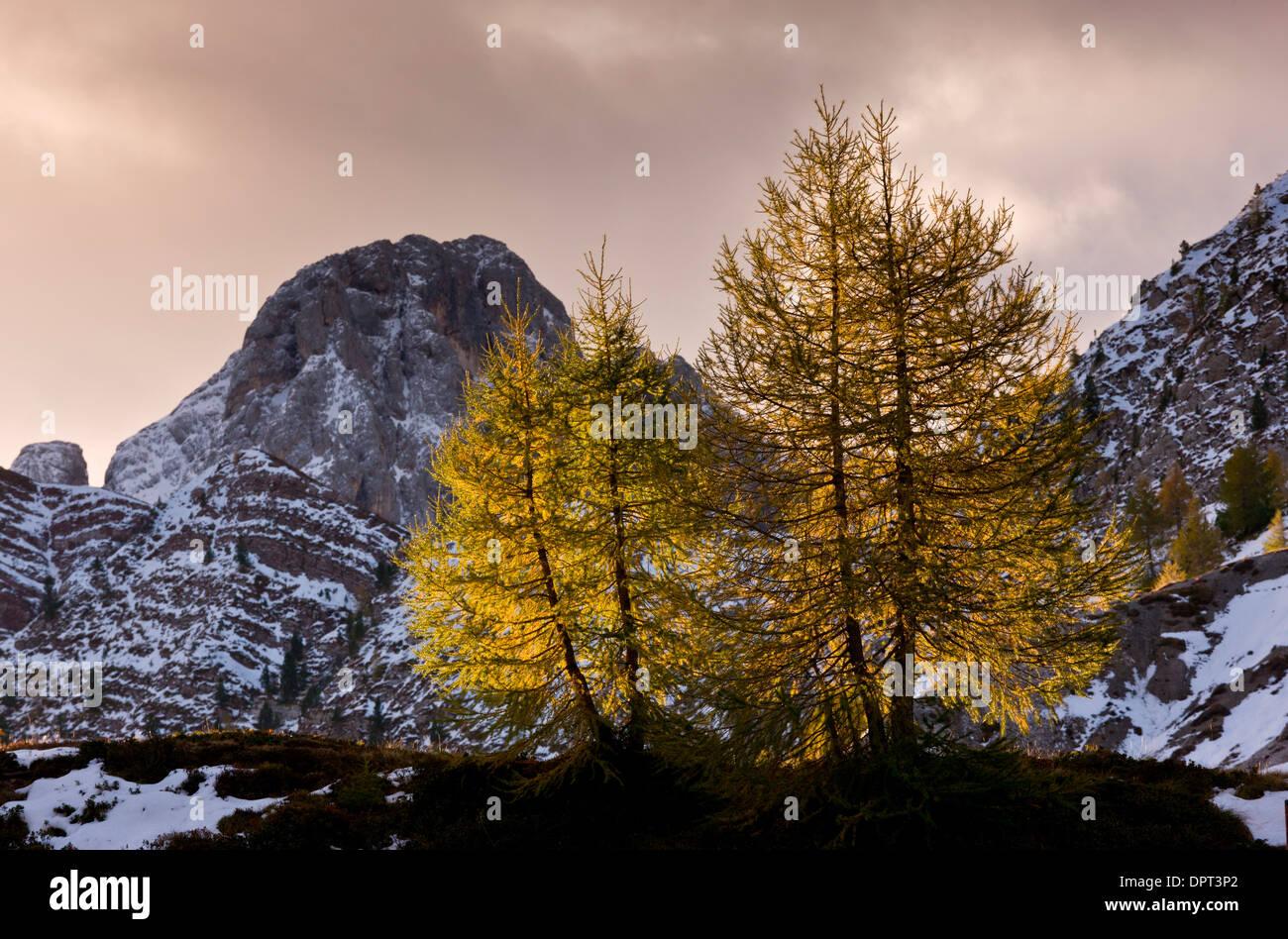 Backlit European Larches, Larix decidua in autumn colour at dawn on the Passo di Valles, Dolomites, north Italy. Stock Photo