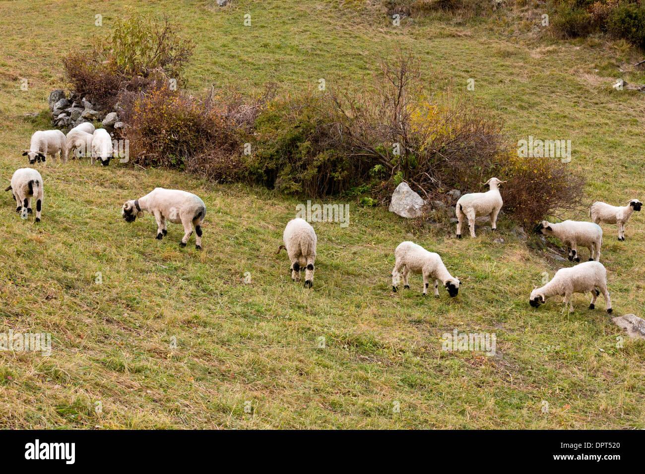 Swiss Valais Blacknose Sheep Breed Stock Photos & Swiss Valais