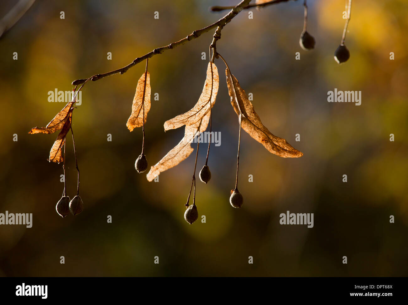 Fruits and bracts of Large-leaved Lime, Tilia platyphyllos in autumn. Stock Photo