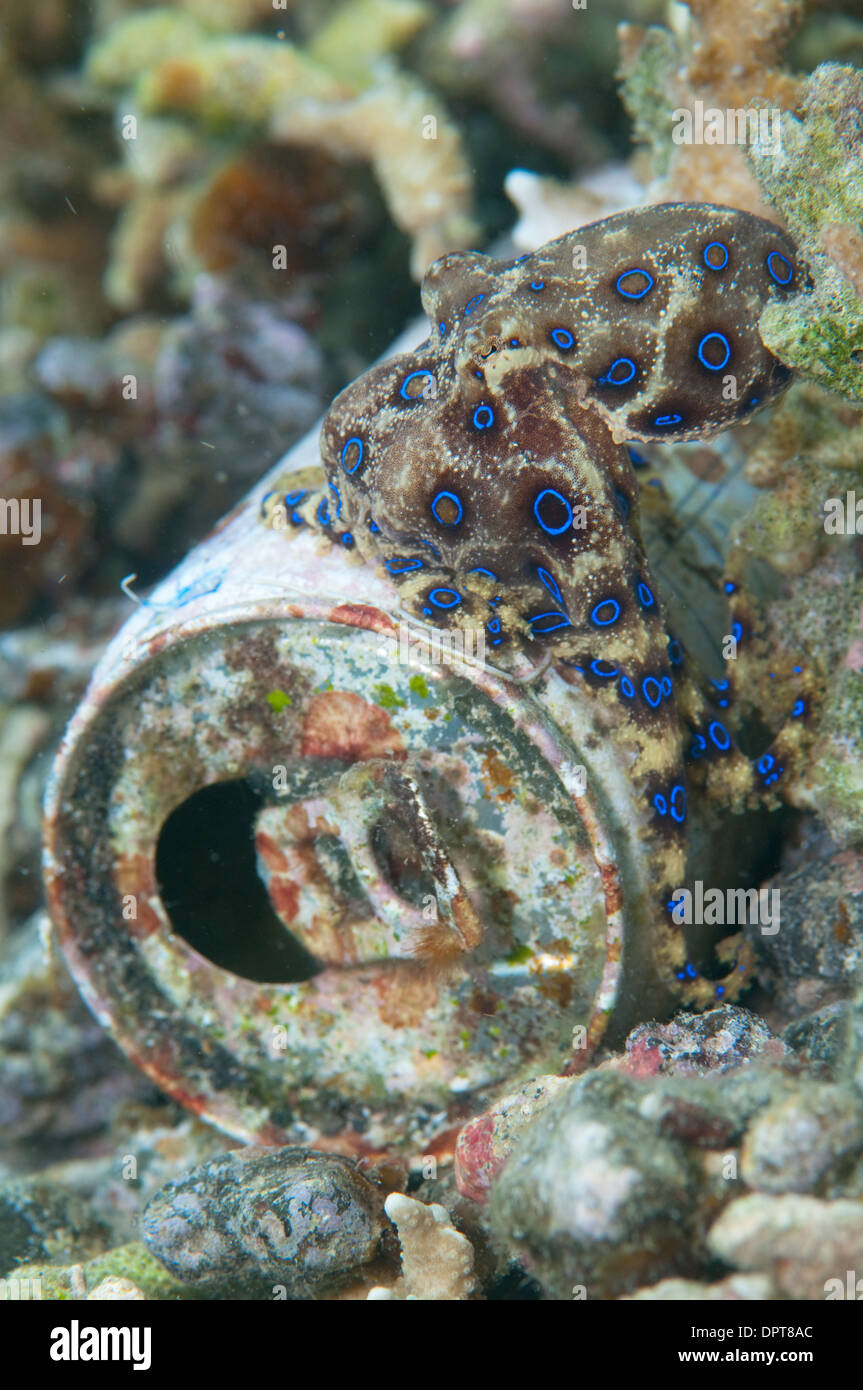 Blue ring octopus, Hapalochlaena sp, on tin can, Lembeh Strait, North Sulewesi, Indonesia. - Stock Image