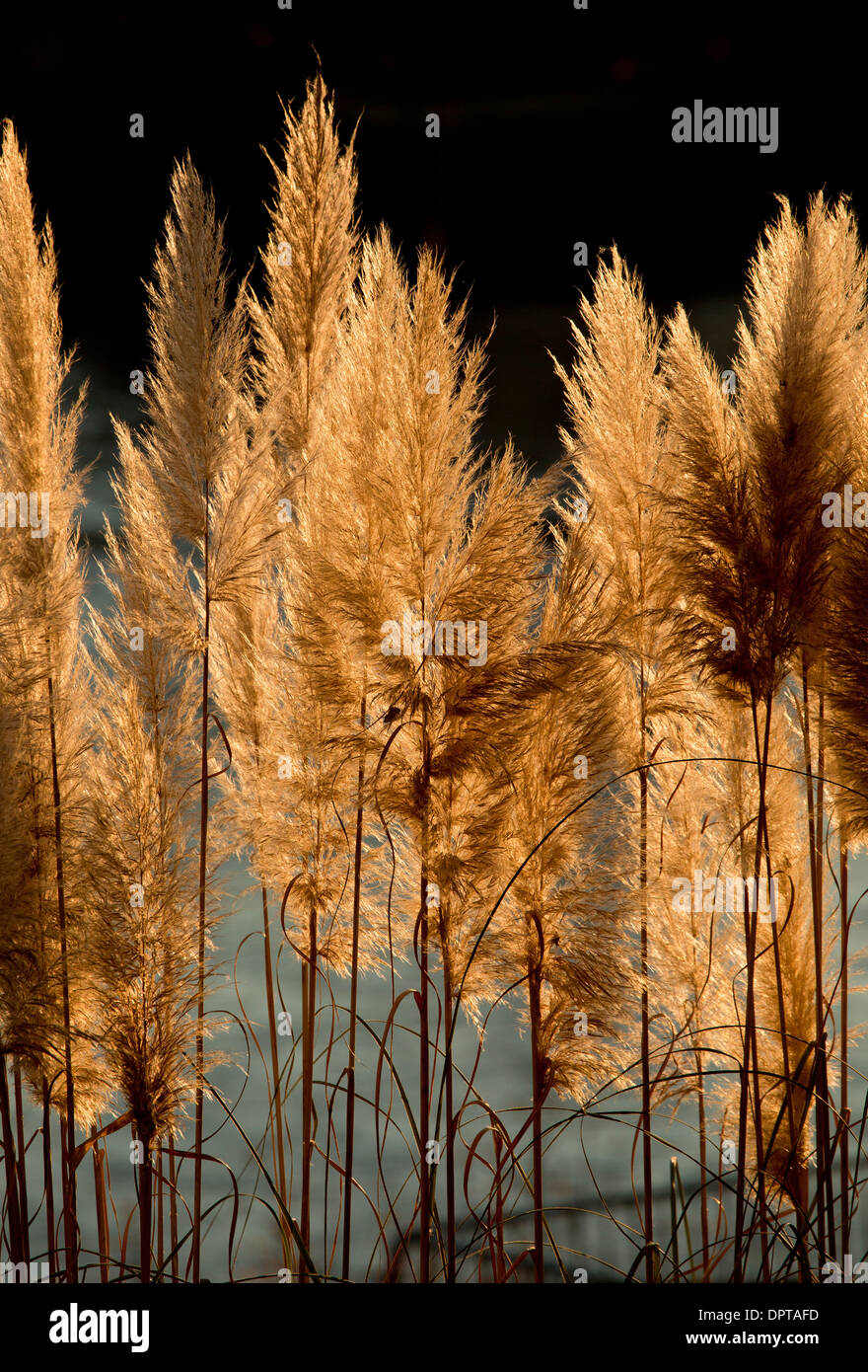 Seed heads or plumes of Pampas Grass, Cortaderia selloana, in autumn, against the light. France. - Stock Image