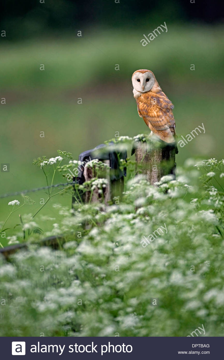 Barn Owl (Tyto alba) perched on fence post along meadow with wildflowers on farmland - Stock Image
