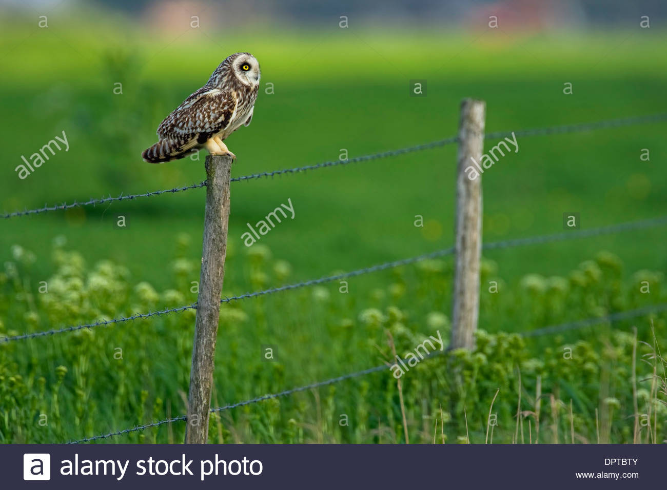 Short-eared Owl (Asio flammeus) perched on fence post along meadow - Stock Image