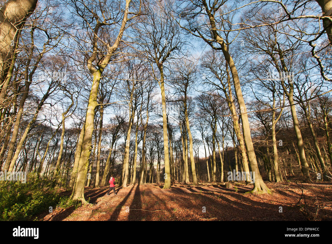 Aston Rowant National Nature Reserve, Stokenchurch, England, UK. A man walks through the beech wood during early winter - Stock Image
