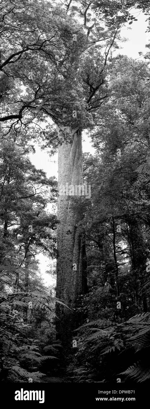 A rare, endangered kauri tree (Agathis australis) from a small grove in Northland, New Zealand - Stock Image