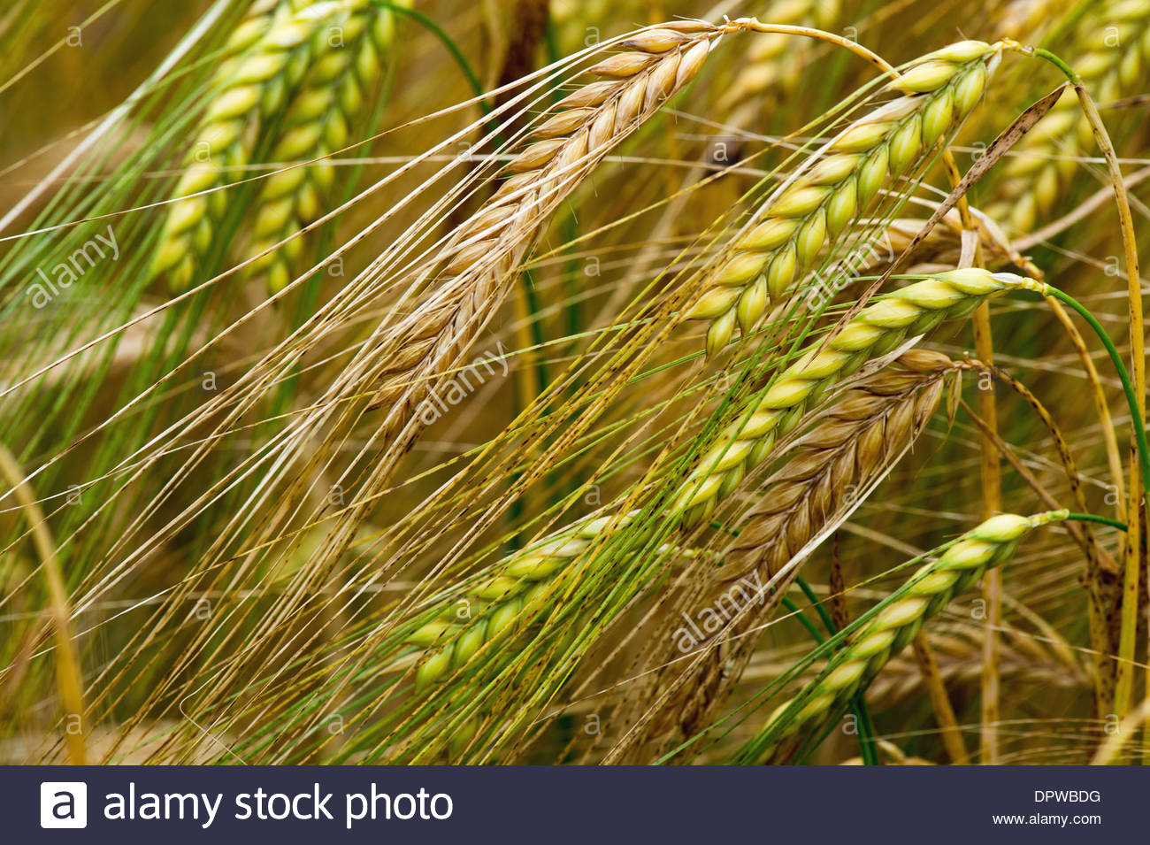 Field with ears of corn - Stock Image