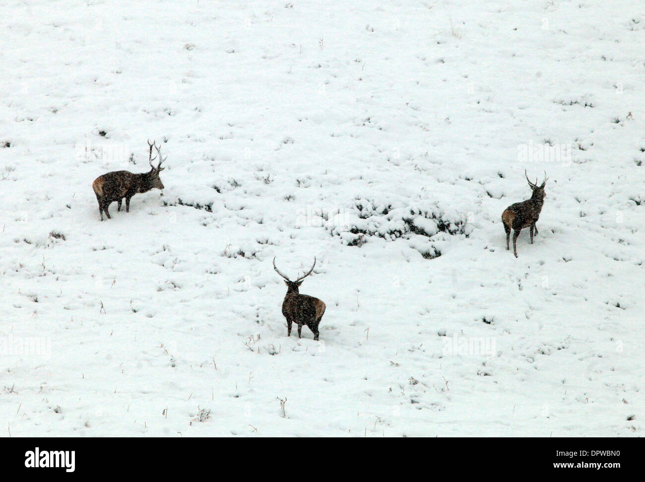Deer enjoy the snow fall by the A9 south of Dalwhinnie in the Cairngorms - Stock Image