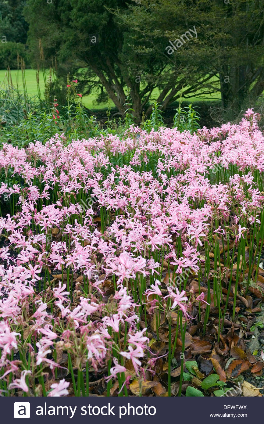 Nerine bowdenii (Nerine). Logan Botanic Garden, Scotland - Stock Image