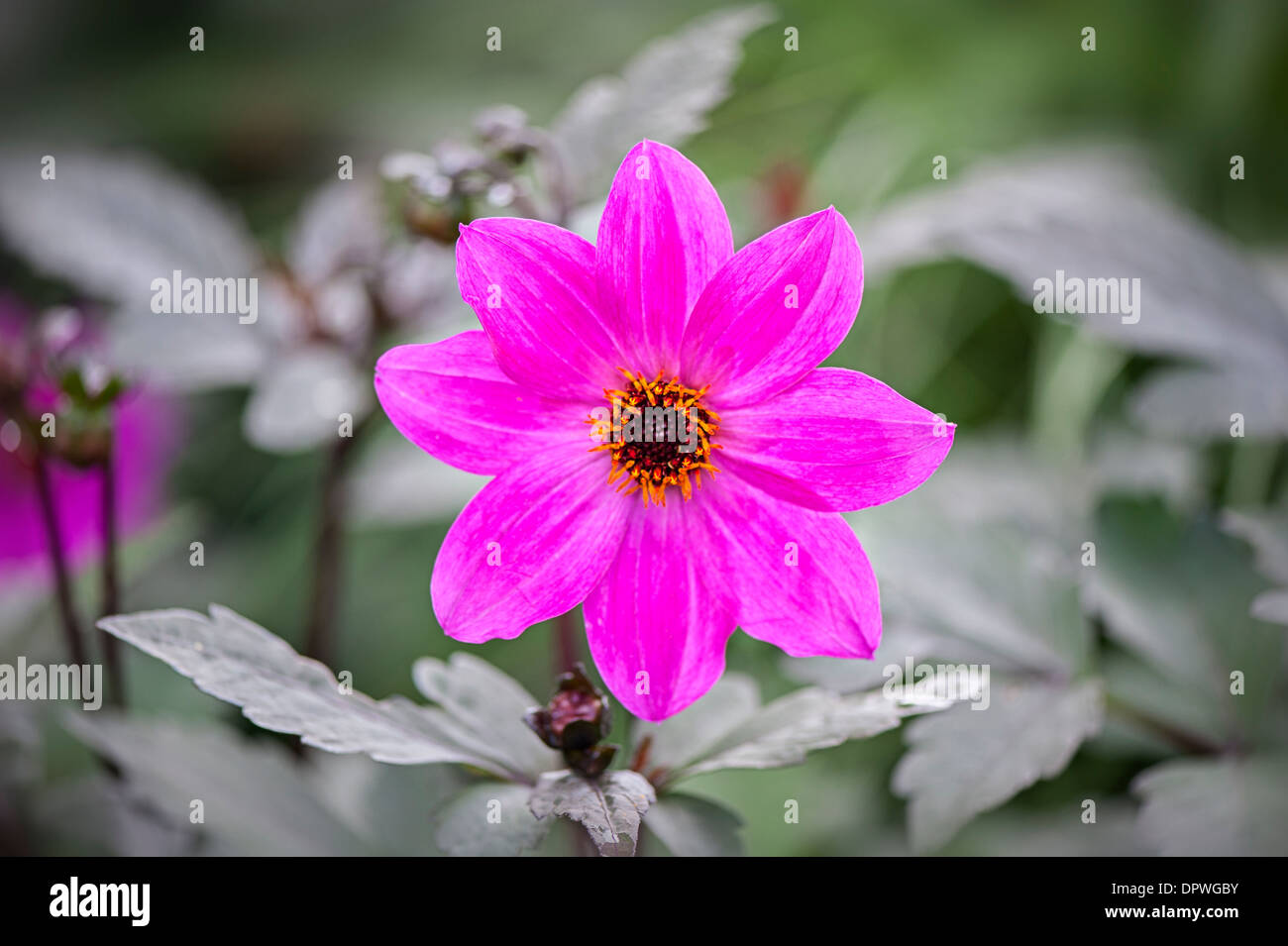 Close-up image of a single pink Dahlia 'Magenta Star' flower - Stock Image