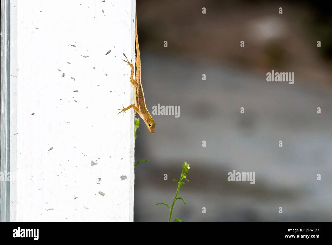 A House Gecko,, Gekkonidae, Hemedactylus frenatus, on the isle of St. Croix, U.S. Virgin Islands. - Stock Image