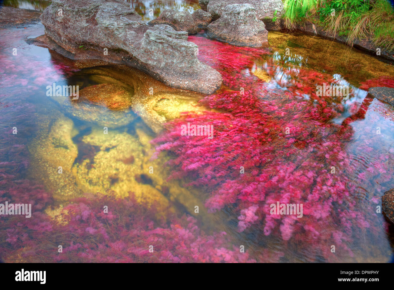 Colors at Cano Cristales, Colombia Underwater plants (Macarenia clarigera) endemic to small stream and area, Llano - Stock Image