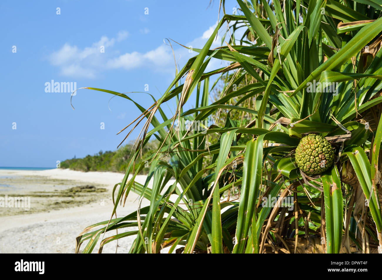 The tropical fruit adan at the beach of the japanese island Taketomi - Stock Image