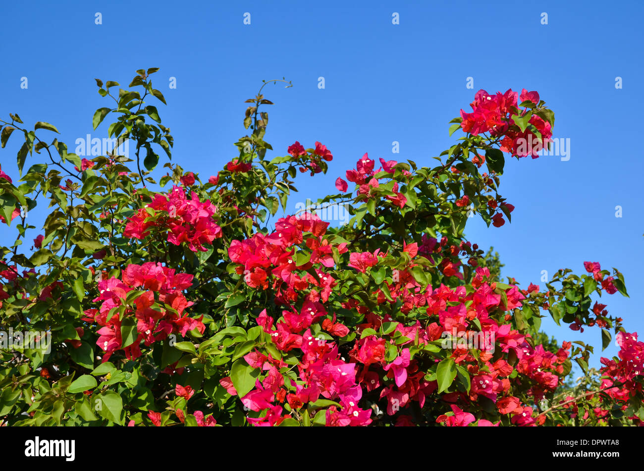 Red bougainvillea flowers at the tropical island Taketomi in Japan - Stock Image