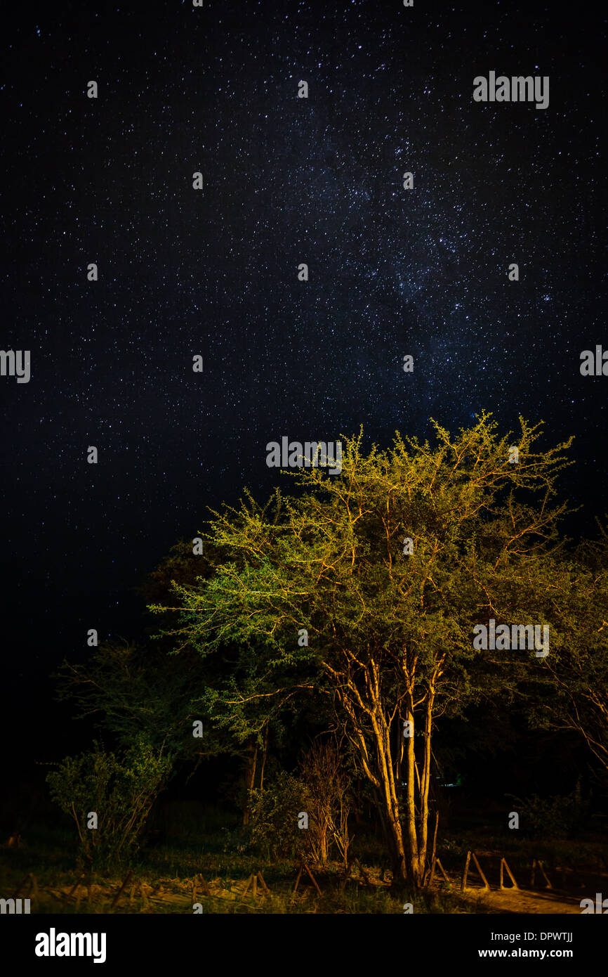 Acacia tree illuminated by the fire light with a sky filled with thousands of bright stars above. - Stock Image