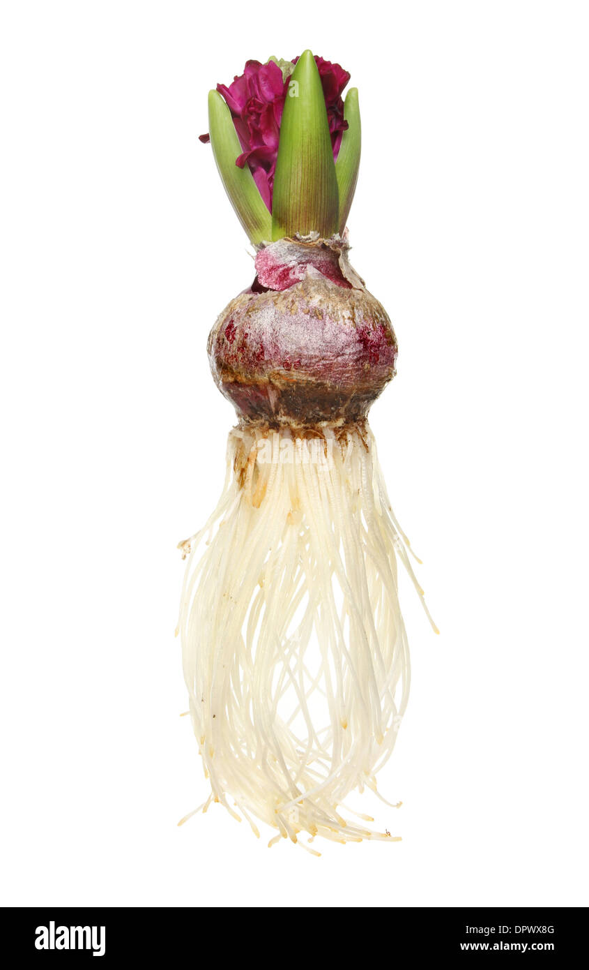 Hyacinth bulb, flower, foliage and roots isolated against white Stock Photo
