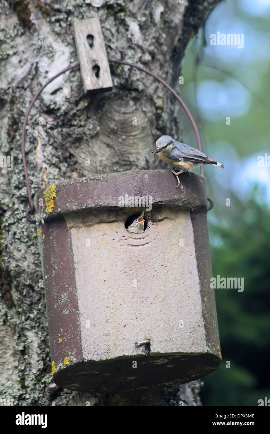 Birdhouse with young nuthatch bird getting feed - Stock Image