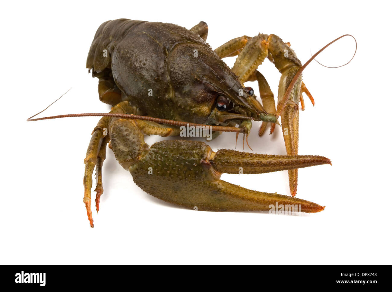 Big alive river crayfish isolated on white - Stock Image