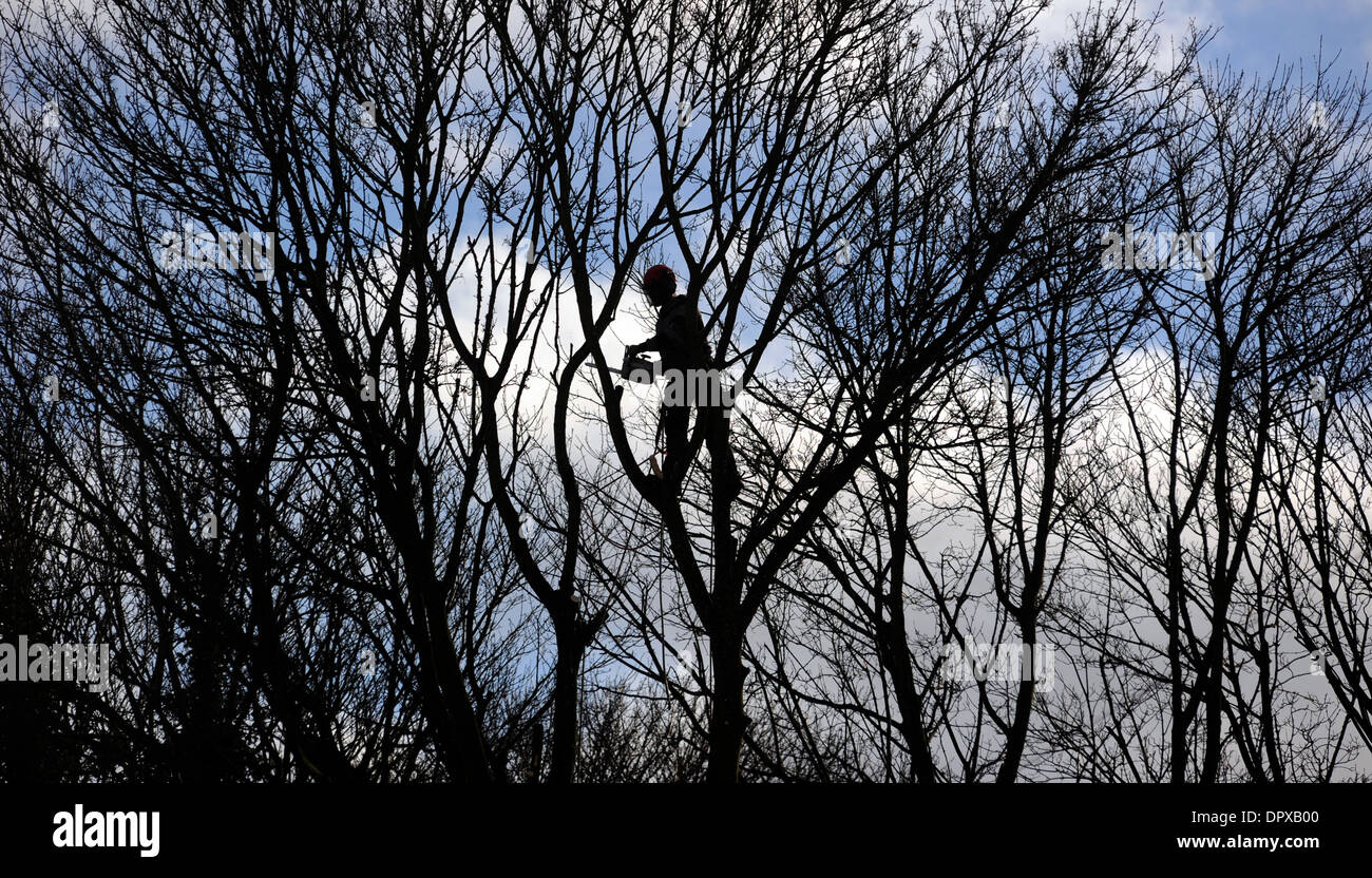 TREE SURGEON WORKING WITH CHAINSAW IN TREE CANOPY RE TREES WOODLAND MANAGEMENT DANGEROUS JOBS WORKERS HEALTH AND SAFETY SAW UK - Stock Image